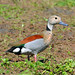 Marreca-de-coleira (Callonetta leucophrys) - Macho