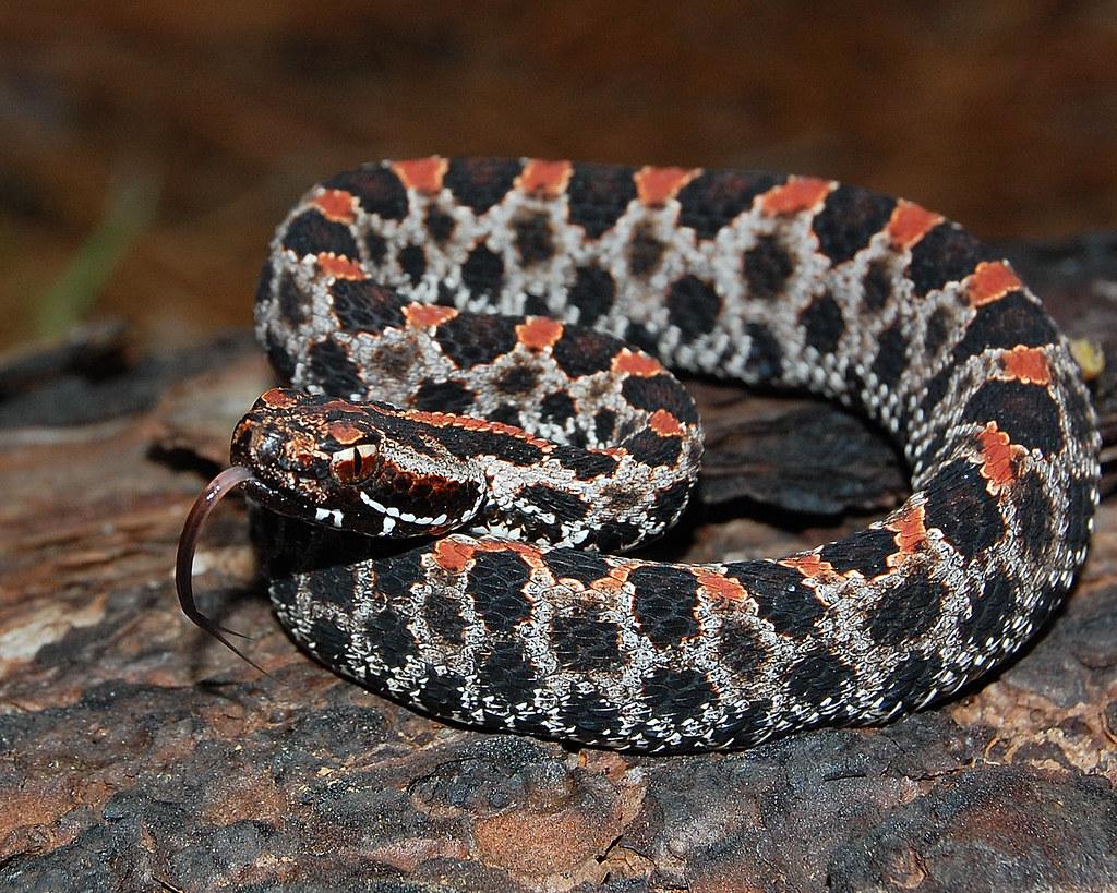 Resultado de imagem para Dusky rattlesnake