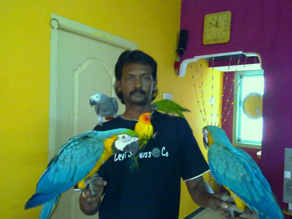 Blue Amp Gold Macaw Sun Conure Hahns Macaw African Grey