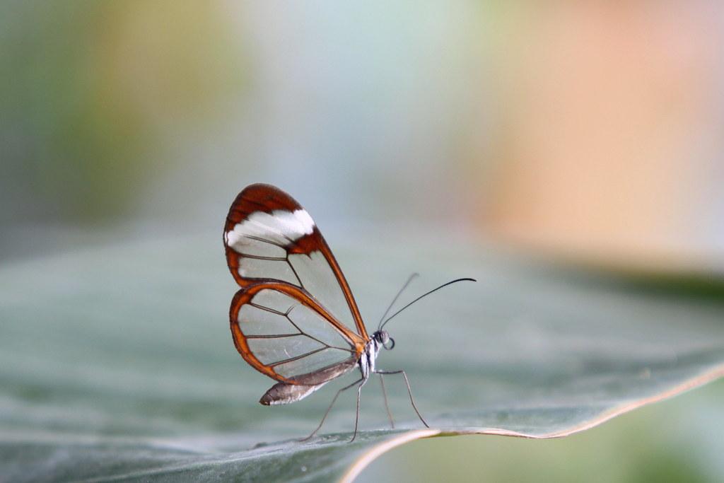 transparent butterfly   Taken in the butterfly garden of ...