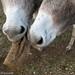 The Daily Donkey 35