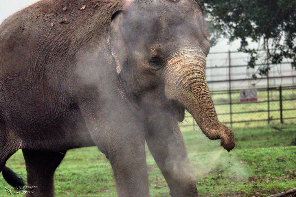 Elephant sneeze!! | Taken on a gloomy day at Whipsnade zoo ...