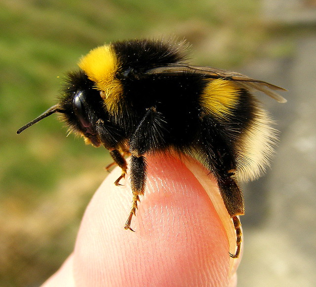 Fuji finepix s5800 super macro bumble bee on my finger - Bumble bee pictures a colori ...