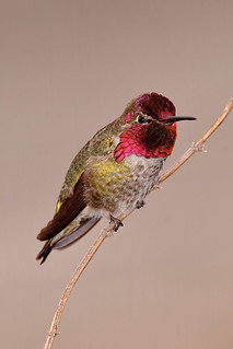 Male Anna's Hummingbird Just Outside of SFO Airport | by Edgar Paul Coral