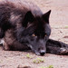Kenai ~ (Wolf) ~ Portland Oregon Zoo ~ 3267 copy