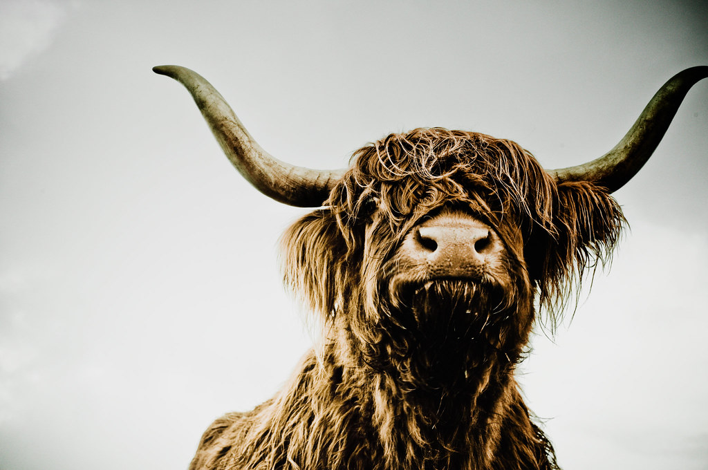 Face To Face With The Devil Scottish Highland Cattle