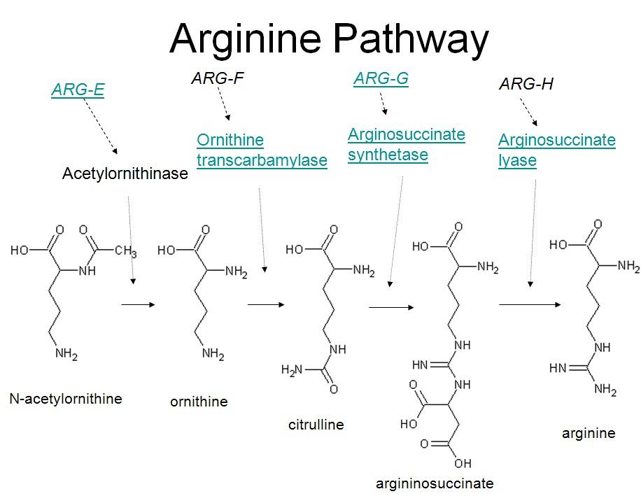 Arginine synthesis pathway | Allen Gathman | Flickr