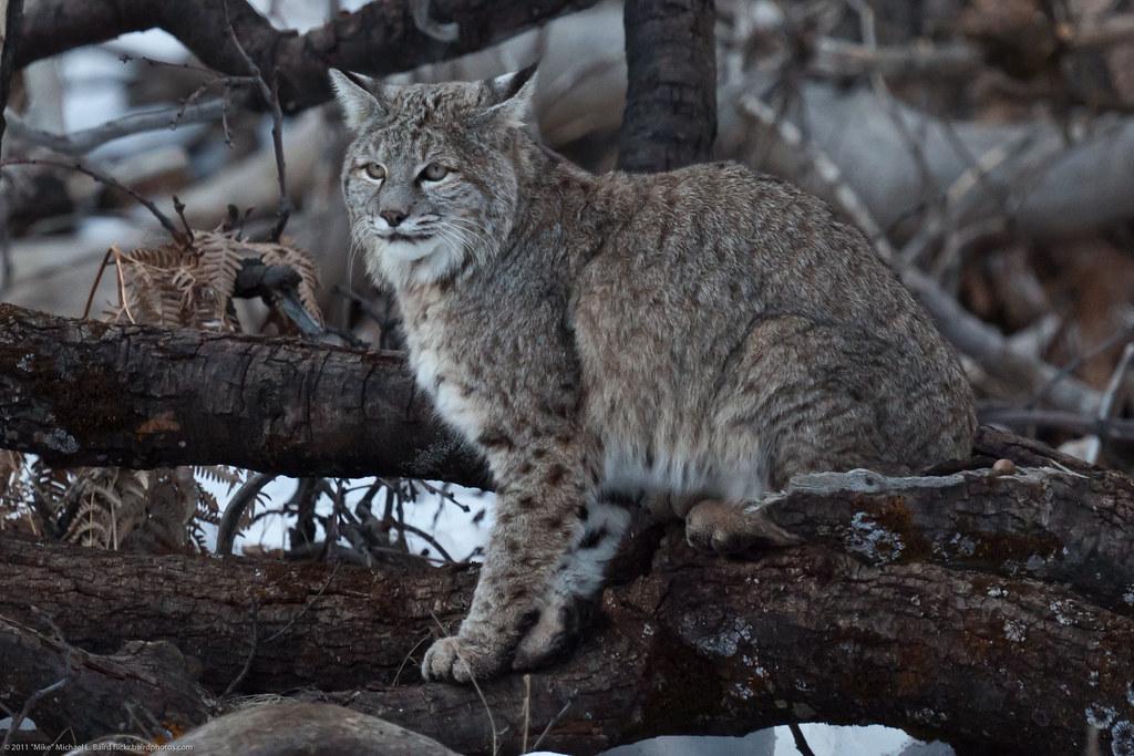 Wisconsin Big Cat Sightings
