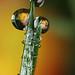 Begonia dewdrop refraction #2