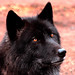 Kenai ~ (Wolf) ~ Portland Oregon Zoo ~ 2934 copy copy
