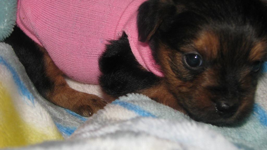 Houston To San Antonio >> Teacup Yorkiepoo Puppy at 5 weeks | At PocketSizedPuppies.co… | Flickr