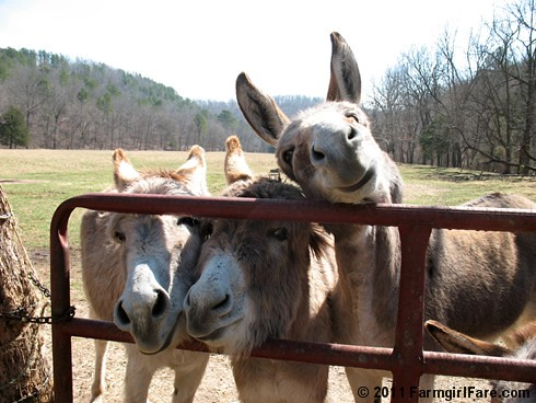 Donkettes hoping for treats | by Farmgirl Susan