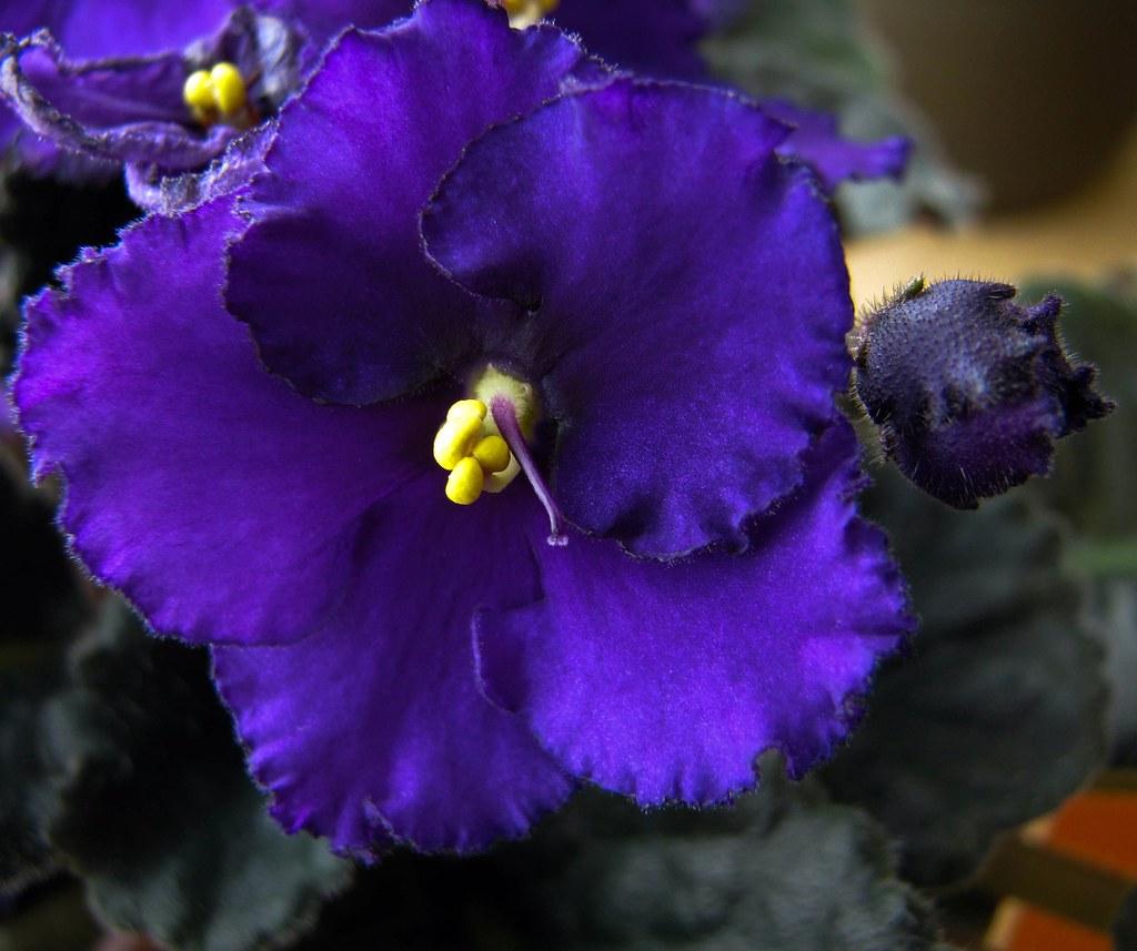 African Violet Suzanne Schroeter Flickr