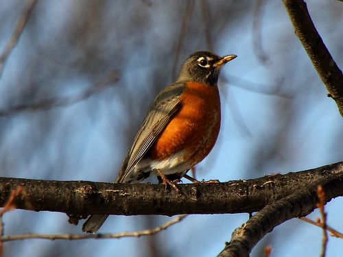 American Robin on Branch | by Mr.TinDC