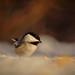 Chickadee with a Stance!!