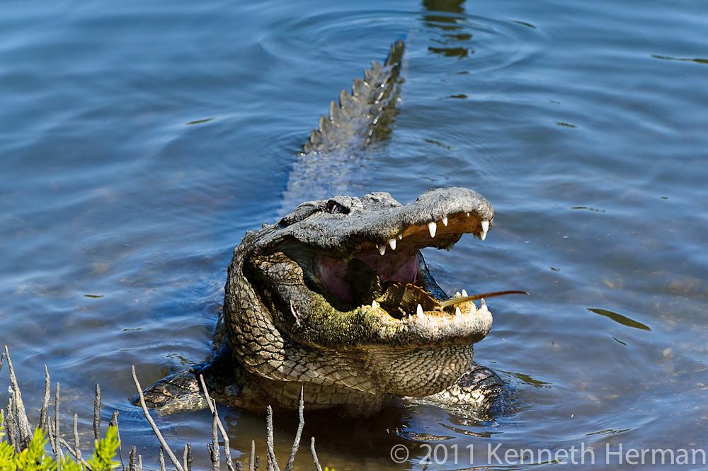 Horseshoe Crab Feeding Alligator Feeding on Horseshoe