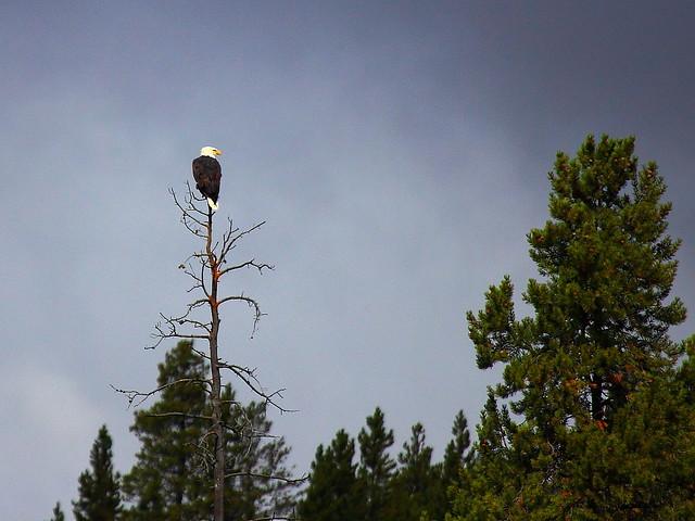 IMG_5234 Bald Eagle, Yellowstone National Park