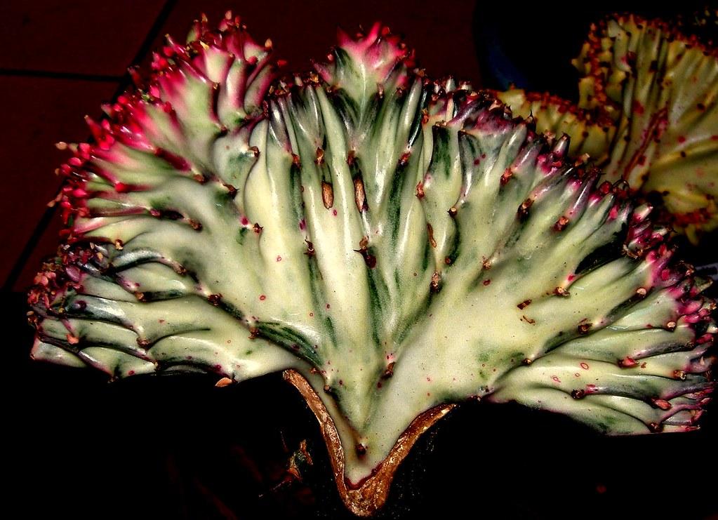 Coral Cactus Euphobia Lactea Crest A New Plants By