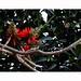 Flower MANDAR [ Tiger Claw ( Sc. Name:Erythrina variegata),]