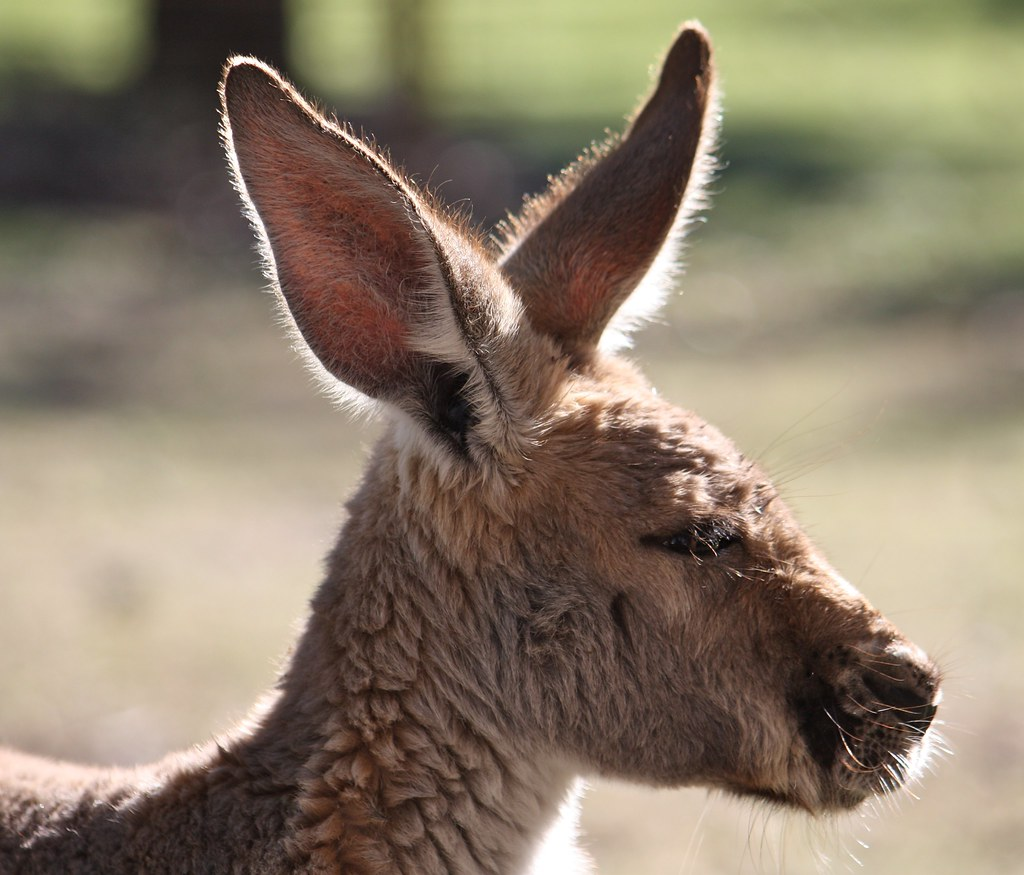Kangaroo Ears Heather Flickr