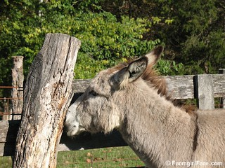 The Daily Donkey 113 - Daphne's Favorite Hangover Remedy | by Farmgirl Susan