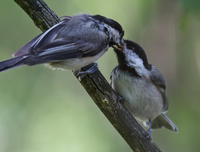 Chickadee parent and fledgling