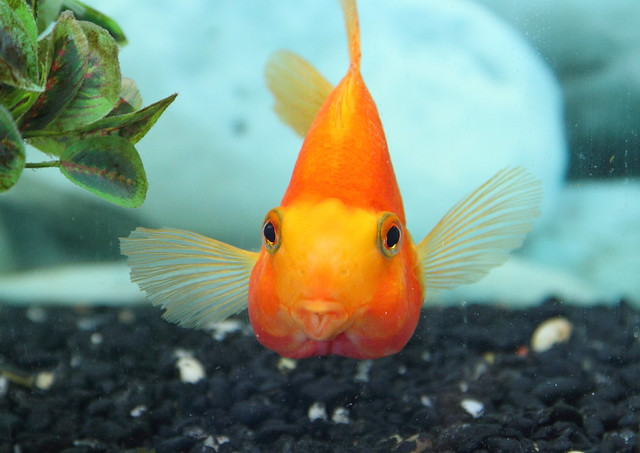 Go Back > Gallery For > Orange Parrot Fish