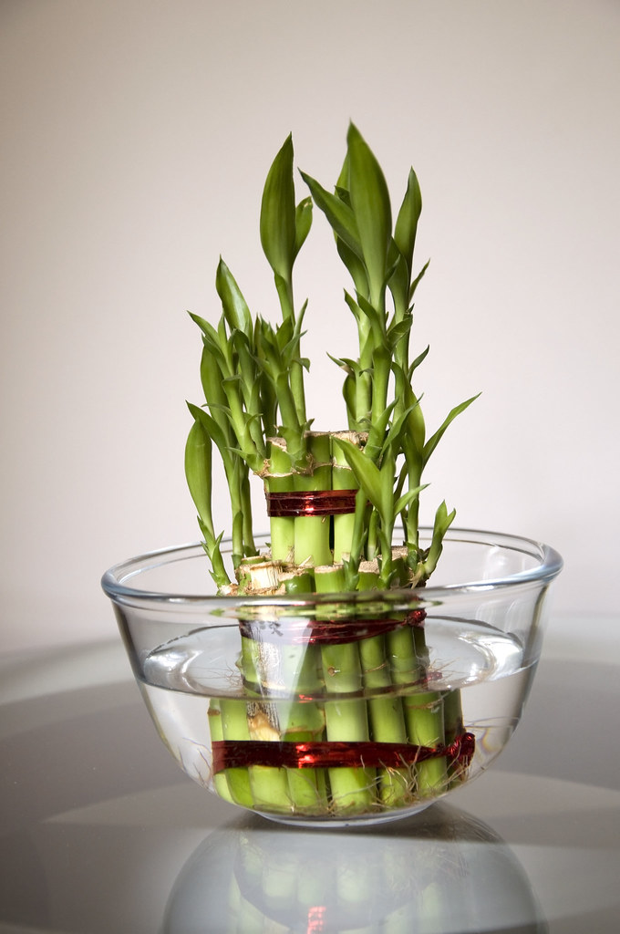 Bamboo Good Luck Plant Eight Lucky Bamboo Stalks Tied