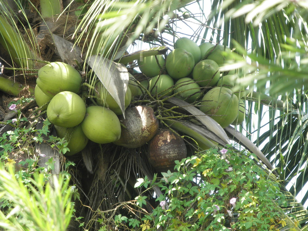 Malayan Green Dwarf Coconuts Very Sweet In Malaysia Flickr