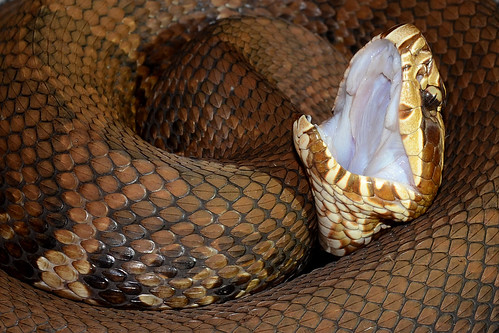 Cottonmouth | by ggallice