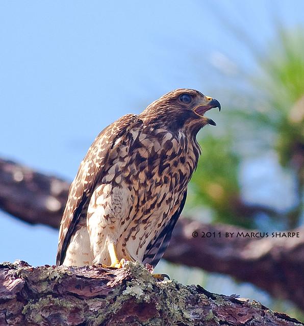 juvenile redshouldered hawk flickr photo sharing