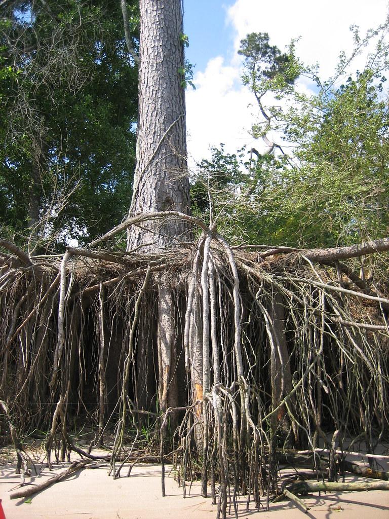 exposed pine tree root...