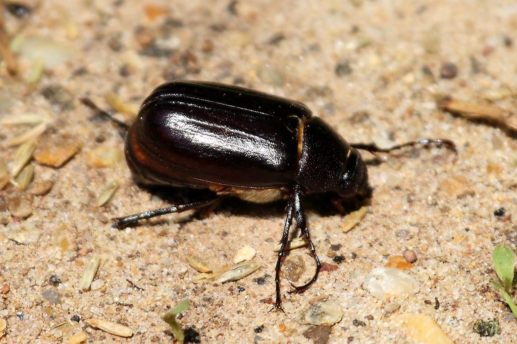 Phyllophaga at Huntley Meadows   Scarab Beetle, of the
