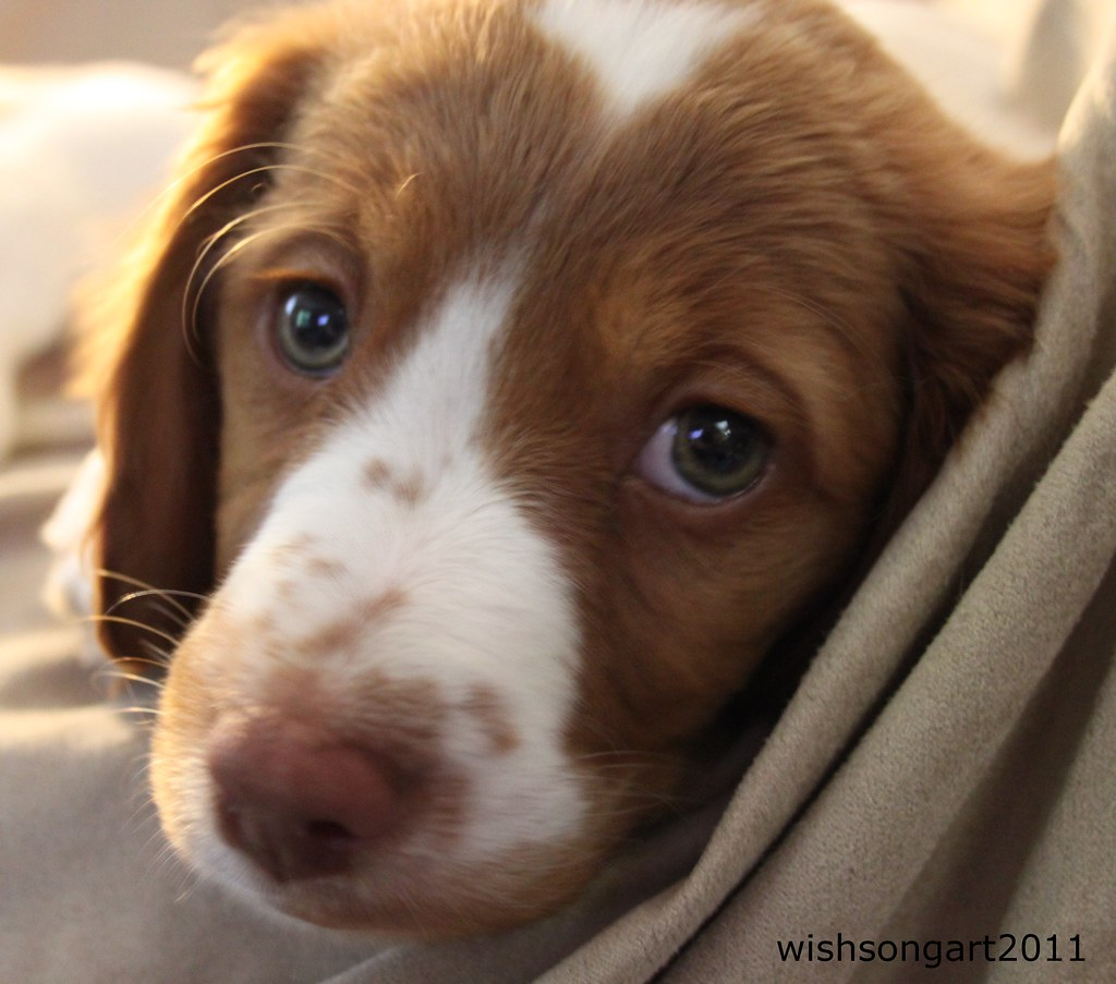 brittany spaniel puppy | ALA being sweet and soft | Flickr