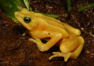 Panamanian Golden Frog #3 | by Maryland Zoo
