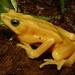 Panamanian Golden Frog #3