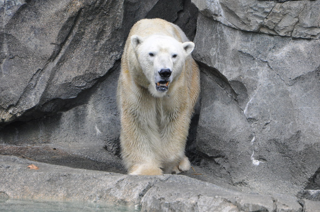 polar bear emerging from cave polar bear ted flickr. Black Bedroom Furniture Sets. Home Design Ideas