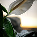 Peace Lily for Melanie [1]