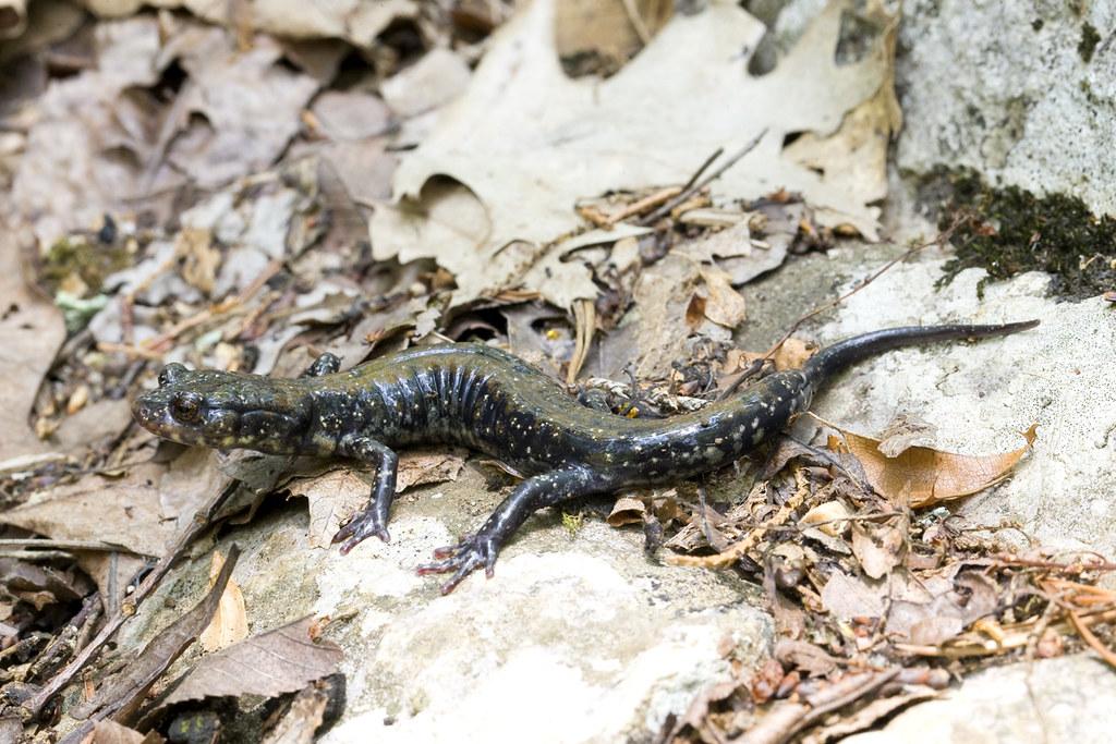 Pigeon Mountain ga Pigeon Mountain Salamander