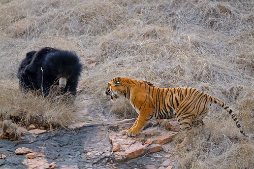 Bear Tiger fight | by dickysingh