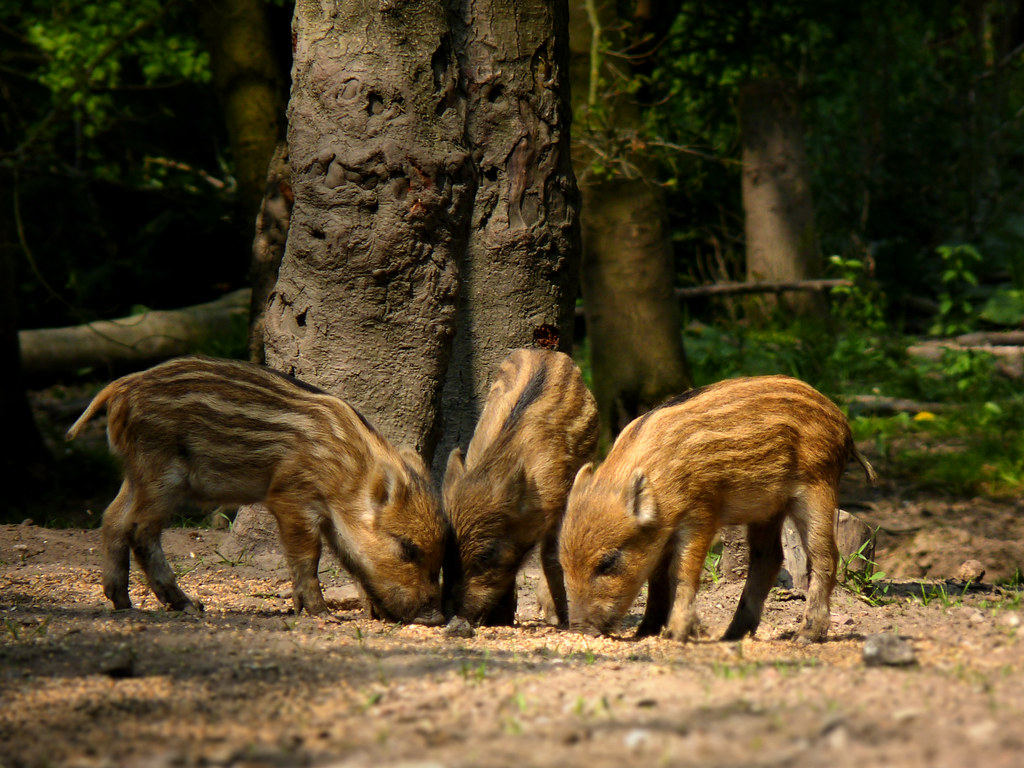 R Hogs Three wild boar piglet...