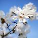 Japanese Magnolia #2