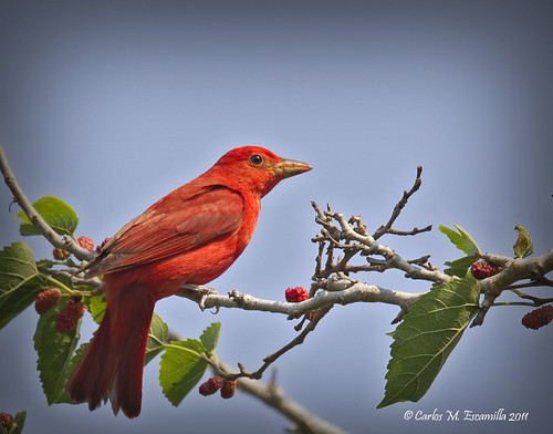Summer Tanager IMG_2913edtvg | by cmescamilla