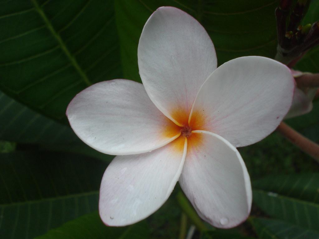 Nicaragua flower cassidia8