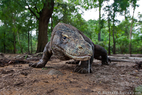 Komodo Dragon | by Burrard-Lucas Wildlife Photography