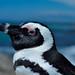 Spheniscus demersus - The Black-footed Penguin