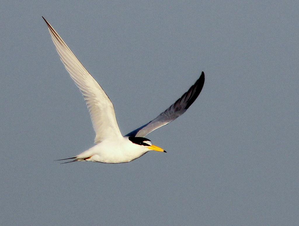 least tern inflight 220110415 i took advantage of the