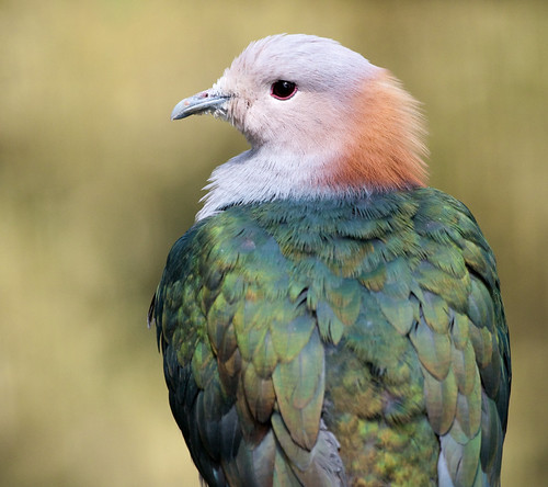 Sulawesi Green Imperial Pigeon | by San Diego Shooter