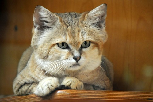Rare Cat Breeds In Usa