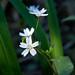 Siberian Candy Flower